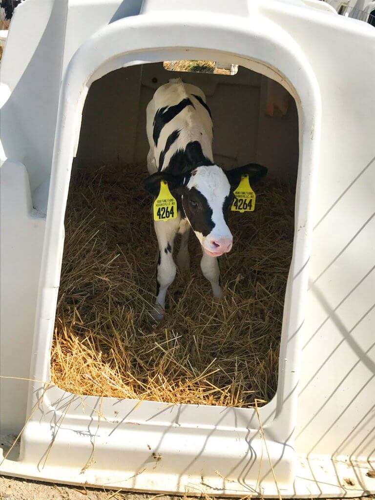 behind the scenes at a dairy farm housing