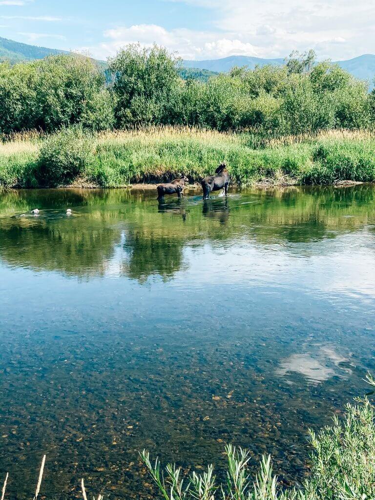 steamboat springs, colorado; hiking, moose sighting